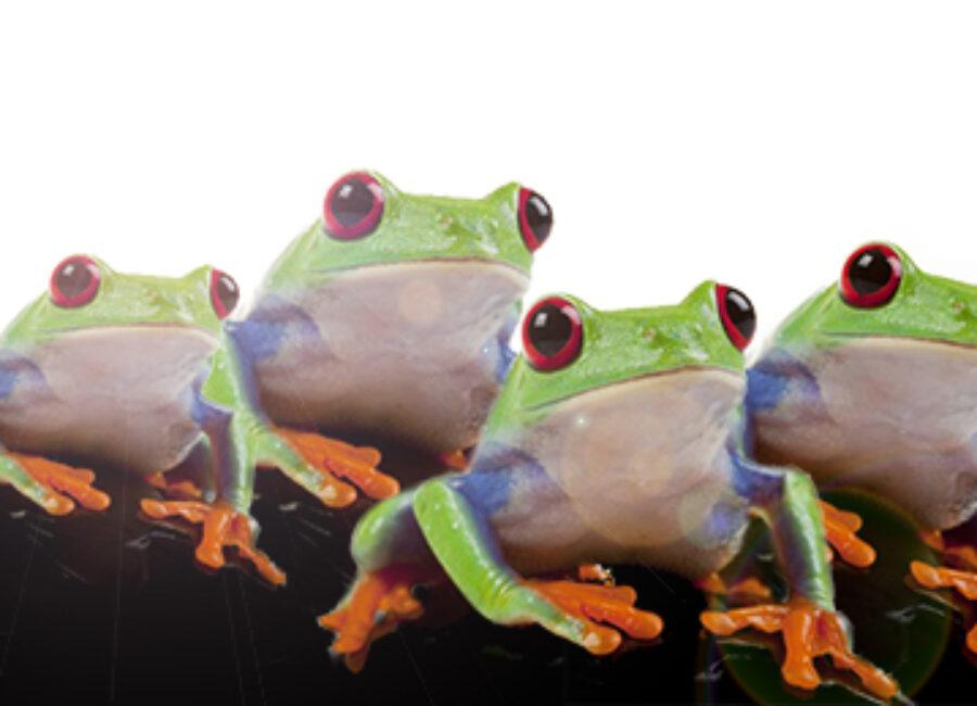 4 grenouilles sur un rocher